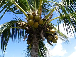 Coconut_tree_in_napili